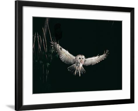 Tawny Owl in the Night, Flghting Whit Prey Field or Wood Mouse (Apodemus Sylvaticus)-Giovanni Giuseppe Bellani-Framed Art Print