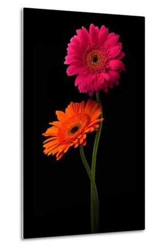 Pink, Orange Gerbera with Stem Isolated on Black-Hanna Slavinska-Metal Print