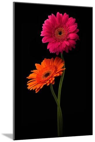Pink, Orange Gerbera with Stem Isolated on Black-Hanna Slavinska-Mounted Photographic Print