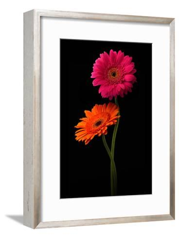 Pink, Orange Gerbera with Stem Isolated on Black-Hanna Slavinska-Framed Art Print