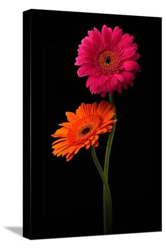 Pink, Orange Gerbera with Stem Isolated on Black-Hanna Slavinska-Stretched Canvas Print