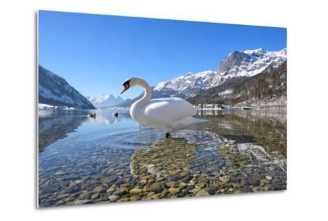 Mute Swan (Cygnus Olor), at Lake Grundel in Winter, Austria, Styria-Blickwinkel/Dum Sheldon-Metal Print