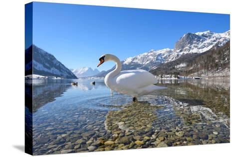 Mute Swan (Cygnus Olor), at Lake Grundel in Winter, Austria, Styria-Blickwinkel/Dum Sheldon-Stretched Canvas Print