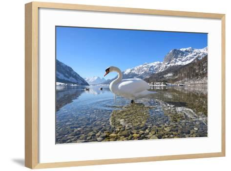 Mute Swan (Cygnus Olor), at Lake Grundel in Winter, Austria, Styria-Blickwinkel/Dum Sheldon-Framed Art Print