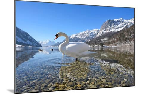 Mute Swan (Cygnus Olor), at Lake Grundel in Winter, Austria, Styria-Blickwinkel/Dum Sheldon-Mounted Photographic Print