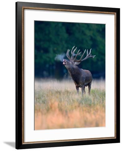 Red Deer (Cervus Elaphus), Roaring Stag with Condensed Breath, Denmark- Blickwinkel/Zoller-Framed Art Print