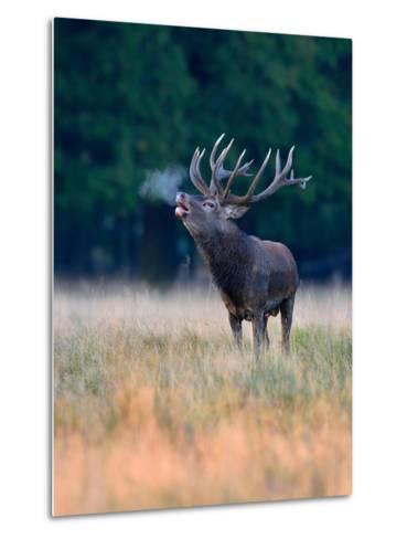 Red Deer (Cervus Elaphus), Roaring Stag with Condensed Breath, Denmark- Blickwinkel/Zoller-Metal Print