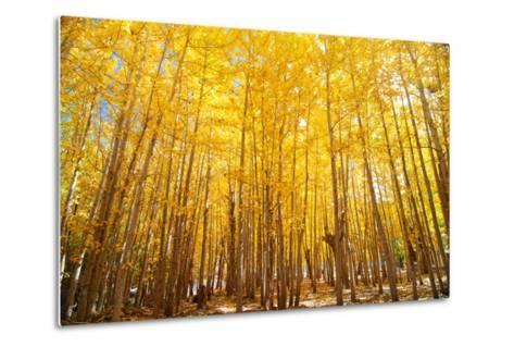 Wide Angle Fall Aspen Trees-szefei-Metal Print