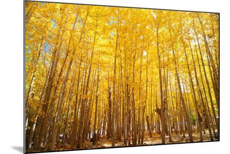 Wide Angle Fall Aspen Trees-szefei-Mounted Photographic Print