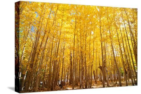 Wide Angle Fall Aspen Trees-szefei-Stretched Canvas Print