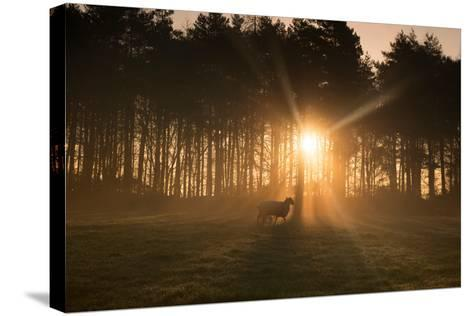 Golden Morning Light Through Trees in the Peak District, Derbyshire England Uk-Tracey Whitefoot-Stretched Canvas Print