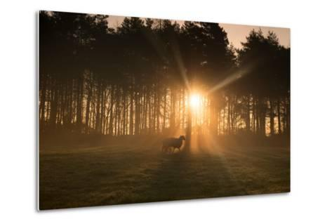 Golden Morning Light Through Trees in the Peak District, Derbyshire England Uk-Tracey Whitefoot-Metal Print