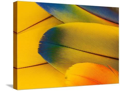 Blue and Gold Macaw Parrot Feathers-Travis Owenby-Stretched Canvas Print
