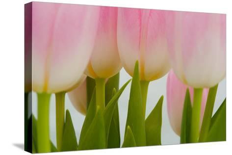 Abstract Pink Tulips-Louise Elder-Stretched Canvas Print