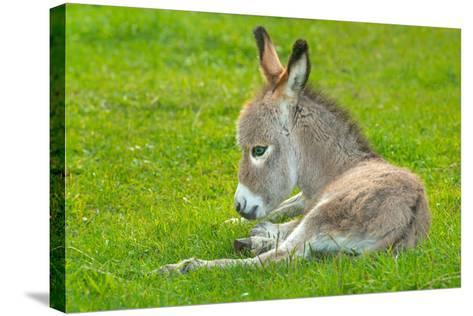 Domestic Donkey (Equus Asinus Asinus), Foal Rests in a Meadow, Germany, North Rhine-Westphalia- Blickwinkel/Wilken-Stretched Canvas Print