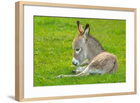 Domestic Donkey (Equus Asinus Asinus), Foal Rests in a Meadow, Germany, North Rhine-Westphalia- Blickwinkel/Wilken-Framed Art Print