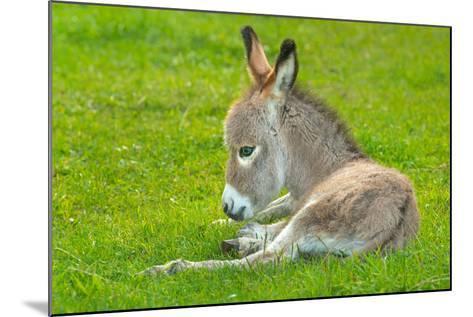 Domestic Donkey (Equus Asinus Asinus), Foal Rests in a Meadow, Germany, North Rhine-Westphalia- Blickwinkel/Wilken-Mounted Photographic Print