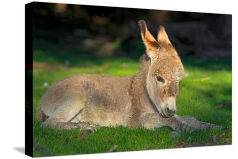 Domestic Donkey (Equus Asinus Asinus), Foal Lays in a Meadow, Germany, North Rhine-Westphalia- Blickwinkel/Wilken-Stretched Canvas Print