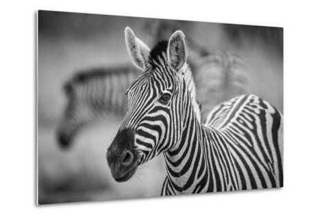 A Herd of Zebra Grazing in the Early Morning in Etosha, Namibia-Udo Kieslich-Metal Print