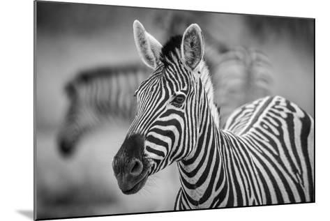 A Herd of Zebra Grazing in the Early Morning in Etosha, Namibia-Udo Kieslich-Mounted Photographic Print