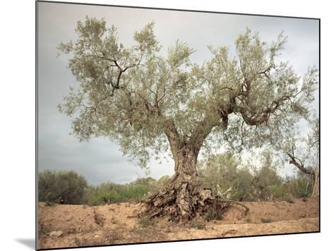 An Old Olive Tree-Roland Andrijauskas-Mounted Photographic Print