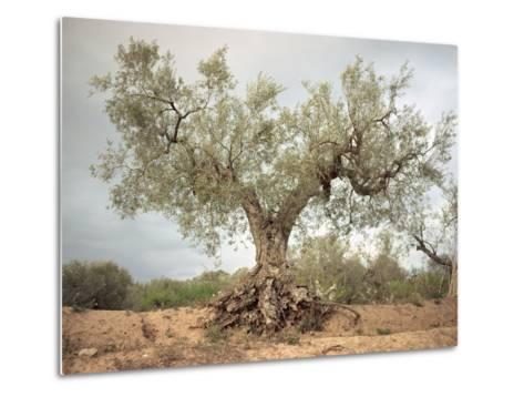 An Old Olive Tree-Roland Andrijauskas-Metal Print