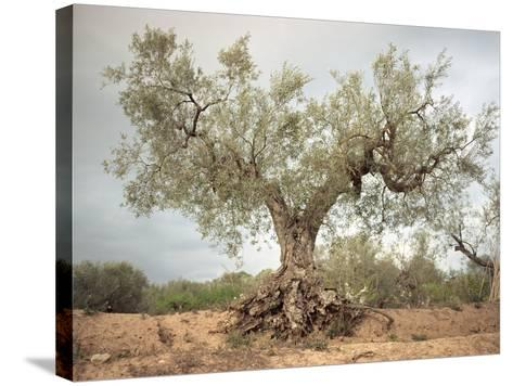 An Old Olive Tree-Roland Andrijauskas-Stretched Canvas Print