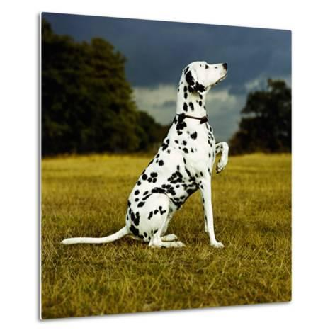 Dalmatian Sitting with Paw Up-Sally Anne Thompson-Metal Print