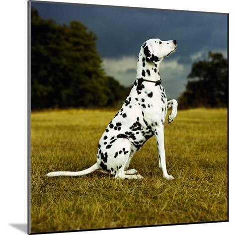 Dalmatian Sitting with Paw Up-Sally Anne Thompson-Mounted Photographic Print