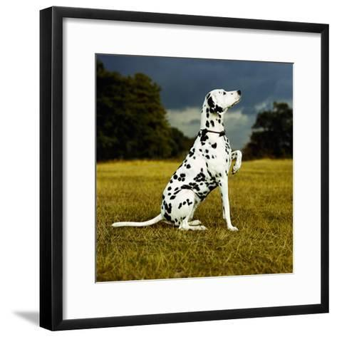 Dalmatian Sitting with Paw Up-Sally Anne Thompson-Framed Art Print