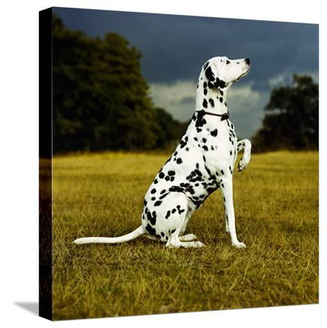 Dalmatian Sitting with Paw Up-Sally Anne Thompson-Stretched Canvas Print