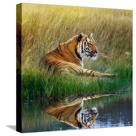 Tiger Relaxing on Grassy Bank with Reflection in Water-Svetlana Foote-Stretched Canvas Print