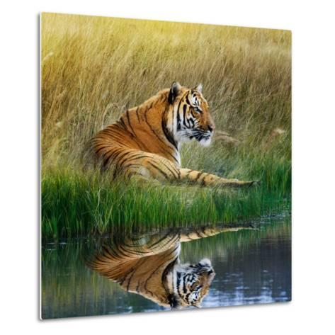 Tiger Relaxing on Grassy Bank with Reflection in Water-Svetlana Foote-Metal Print