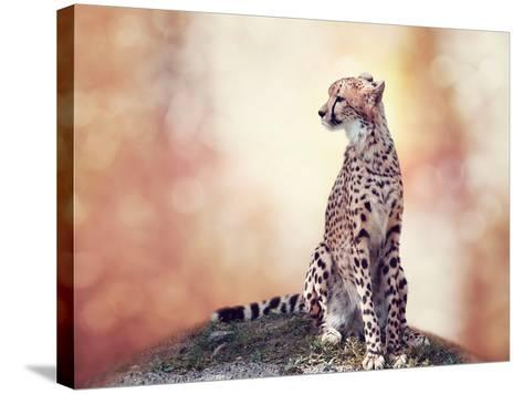 Cheetah Sitting on a Hill and Looking Around-Svetlana Foote-Stretched Canvas Print