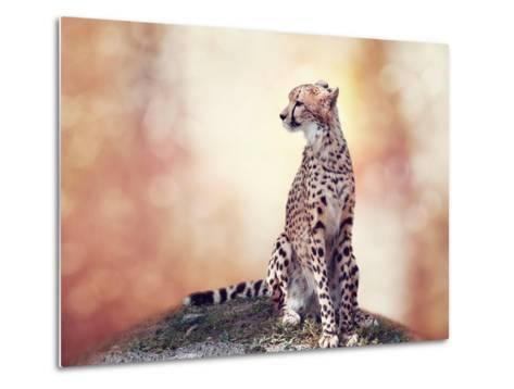 Cheetah Sitting on a Hill and Looking Around-Svetlana Foote-Metal Print