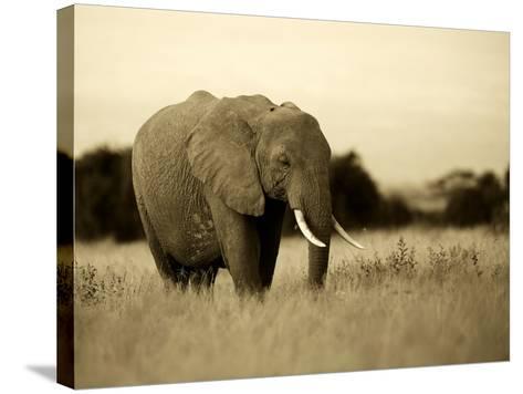 African Elephant in Amboseli National Park, Kenya-Santosh Saligram-Stretched Canvas Print