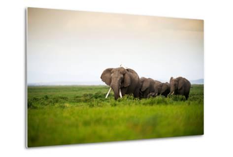 African Elephant Herd at Sunset in Amboseli National Park, Kenya-Santosh Saligram-Metal Print