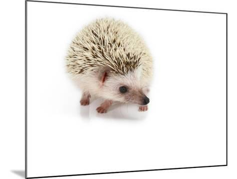 Hedgehog Isolated-Pongphan Ruengchai-Mounted Photographic Print