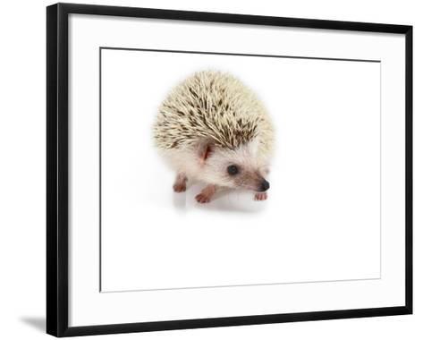 Hedgehog Isolated-Pongphan Ruengchai-Framed Art Print