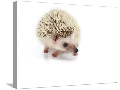 Hedgehog Isolated-Pongphan Ruengchai-Stretched Canvas Print