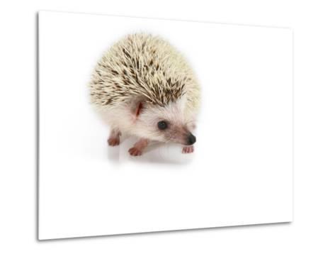 Hedgehog Isolated-Pongphan Ruengchai-Metal Print