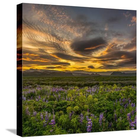 Lupines, Myrdalssandur, South Coast, Iceland-Ragnar Th Sigurdsson-Stretched Canvas Print