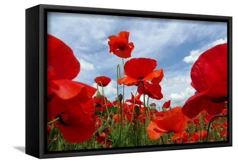 A Field of Red Poppies in Bloom under a Cloud-Filled Sky-Amy & Al White & Petteway-Framed Canvas Print
