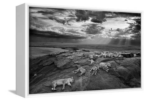 Lionesses and cubs from the Vumbi lion pride rest on a kopje, a rocky outcrop.-Michael Nichols-Framed Canvas Print