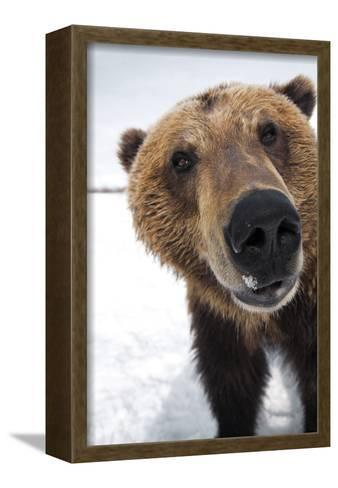 Captive Extreme Close-Up of Brown Bear at the Alaska Wildlife Conservation Center-Design Pics Inc-Framed Canvas Print
