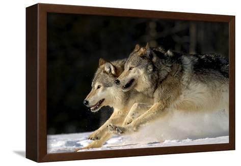 Pack of Grey Wolves Running Through Deep Snow Captive Ak Se Winter-Design Pics Inc-Framed Canvas Print