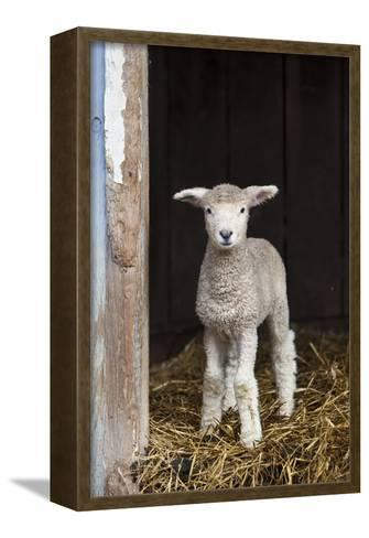 A Baby Romney Lamb Stands in a Barn On Some Hay-Karine Aigner-Framed Canvas Print
