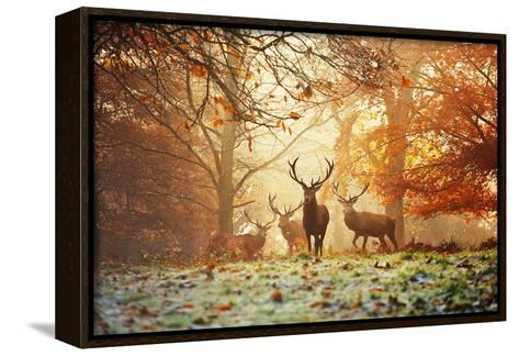 Four Red Deer, Cervus Elaphus, in the Forest in Autumn-Alex Saberi-Framed Canvas Print