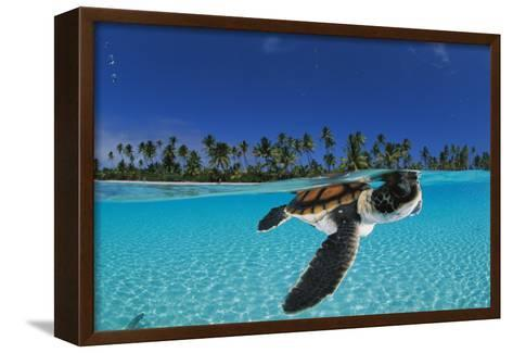 Baby green sea turtle swimming in a tropical paradise-David Doubilet-Framed Canvas Print