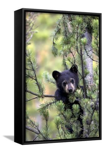 Portrait of a Black Bear Cub, Ursus Americanus, Climbing in a Pine Tree-Robbie George-Framed Canvas Print